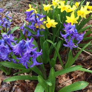 Hyacinths Daffodils