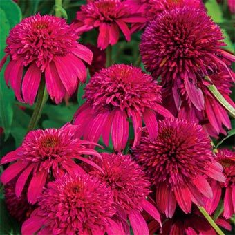 Double Scoop Coneflower
